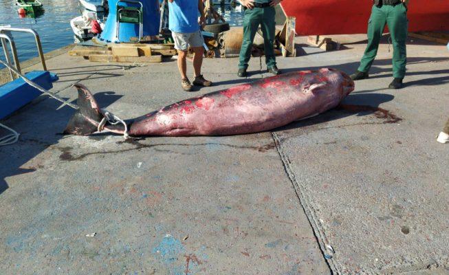 Aparece un cachalote varado en la costa de Candelaria