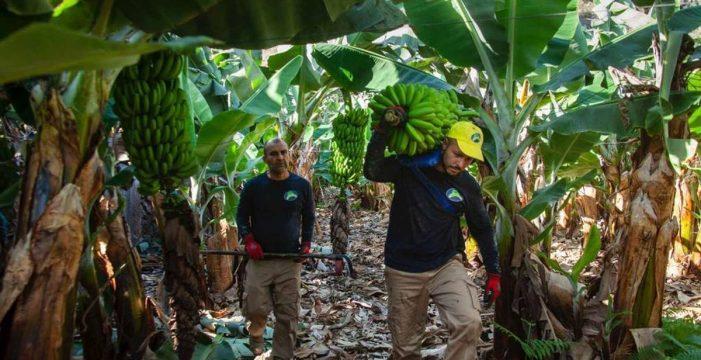 Europa salva 'in extremis' al Plátano de Canarias: no recortará sus ayudas