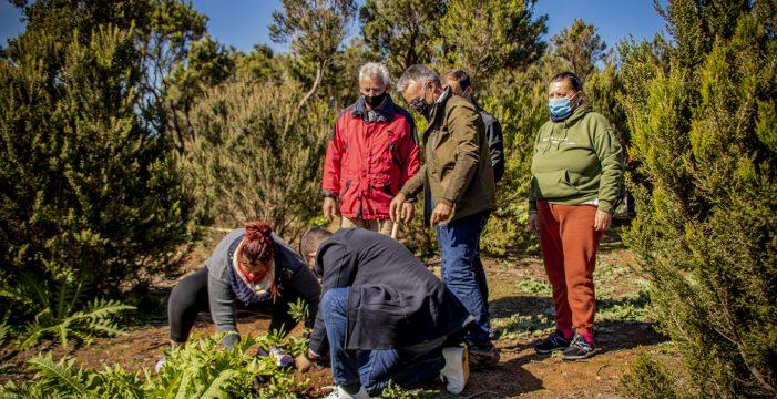 Plantan 200 fayas en Mesa Mota (La Laguna) para impulsar la recuperación del ecosistema