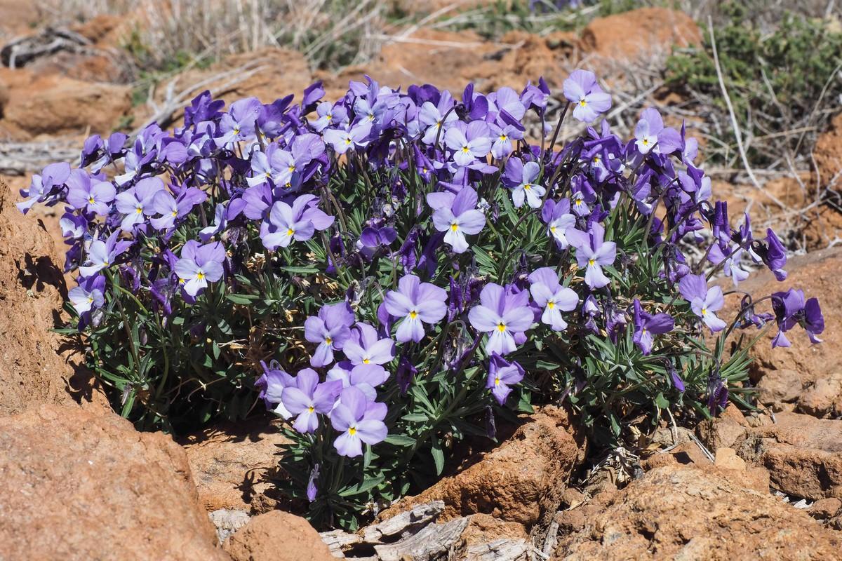 RS669410_sm violeta del teide 05-scr