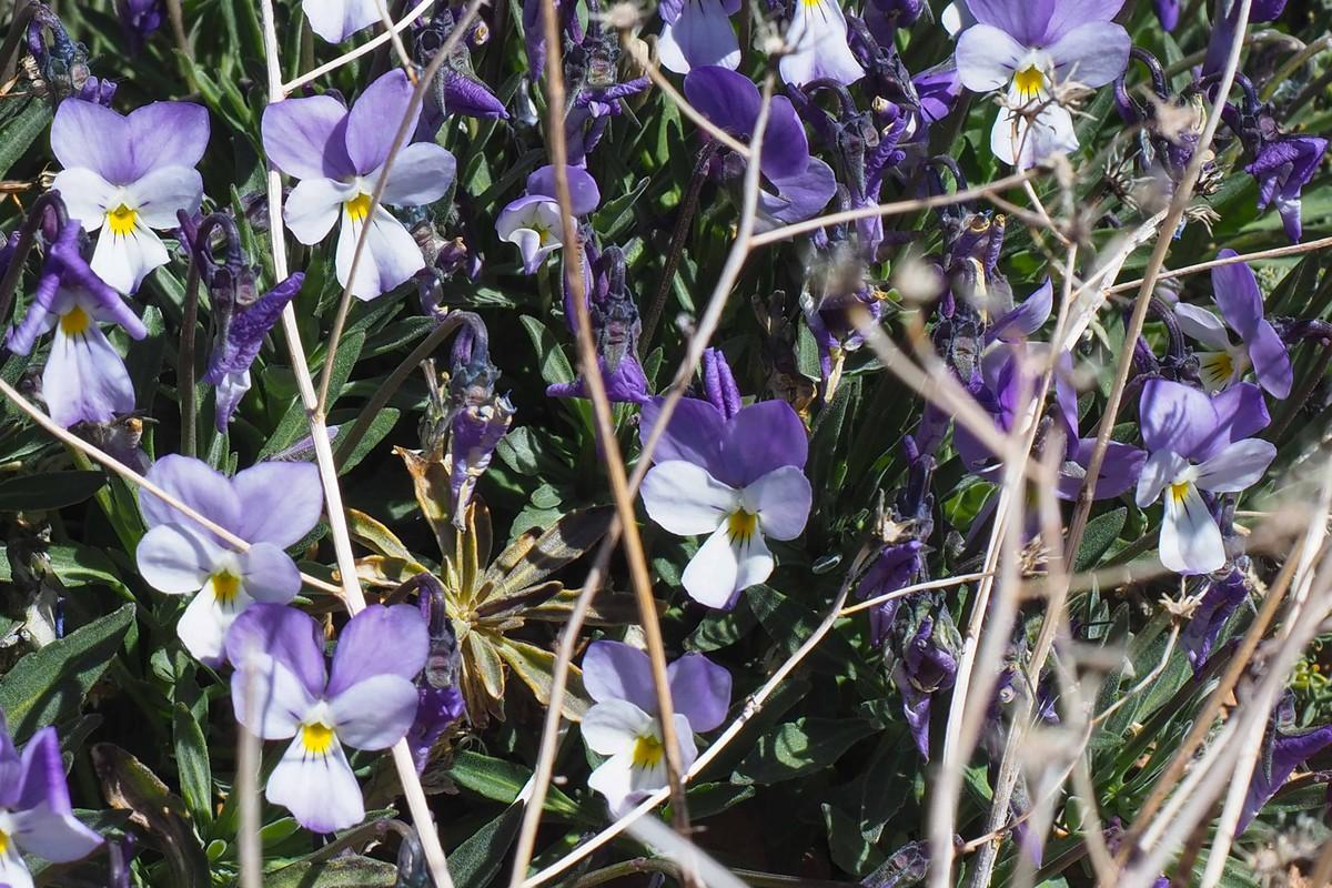 RS669414_sm violeta del teide 09-scr