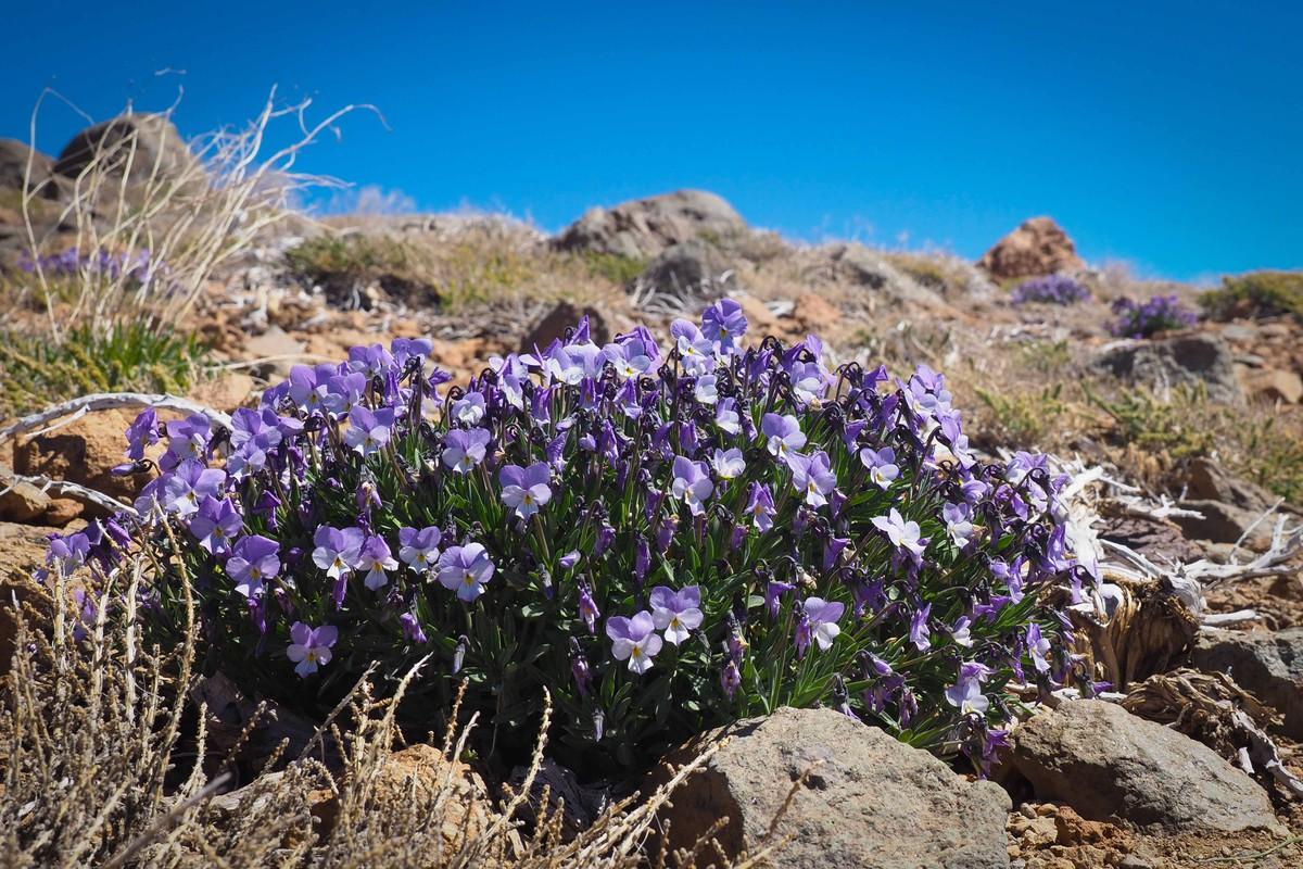 RS669416_sm violeta del teide 11-scr