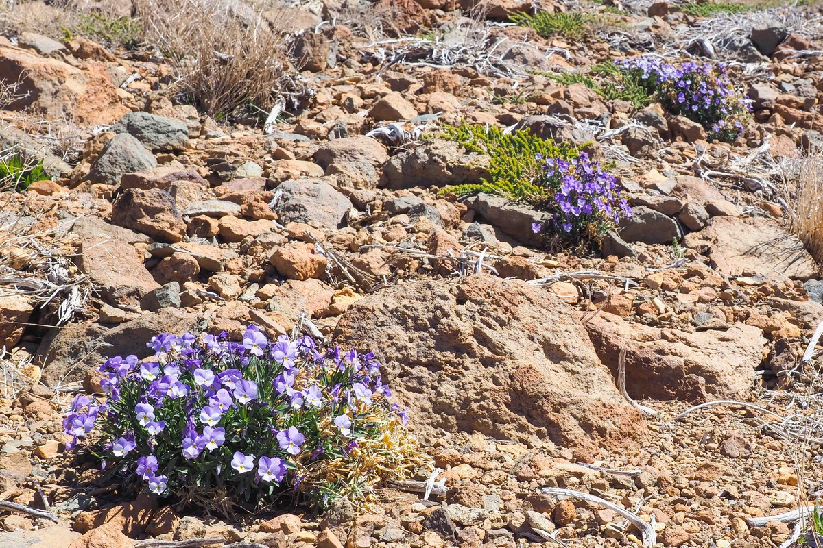 RS669417_sm violeta del teide 12-scr