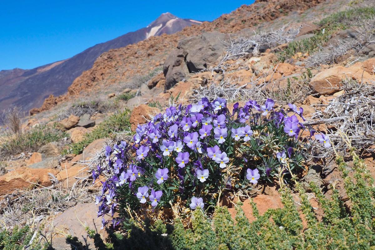 RS669418_sm violeta del teide 13-scr