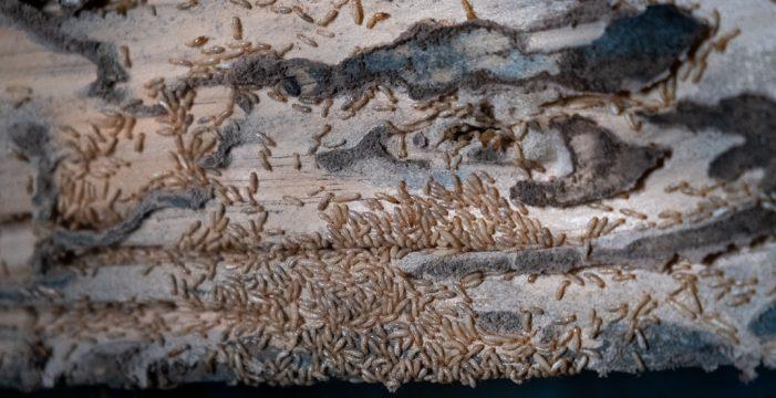 Una colonia de termitas afecta hasta 34.000 metros cuadrados en Tacoronte